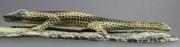 Lizard by Chris Waatsa